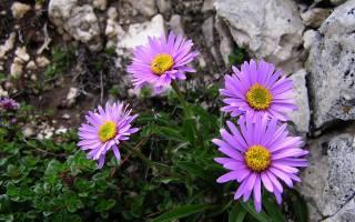 Астра альпийская розовая