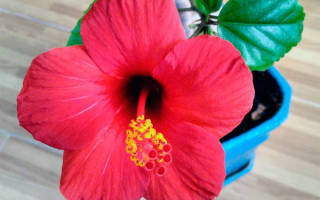 Гибискус комнатный цветок с красными цветами