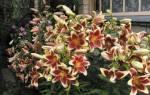 Лилии гиганты фото