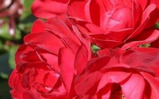 Роза милана фото
