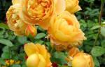 Сорта желтых роз с фото и описанием