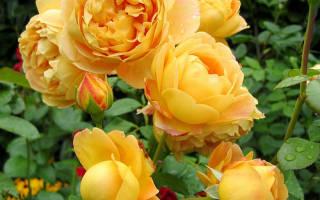 Роза желто розовая
