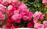 Роза и зимостойкость