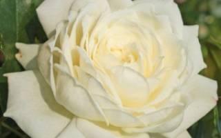 Характеристики плетистой розыalaska аляска