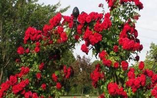 Роза плетистая пересадка осенью – видео