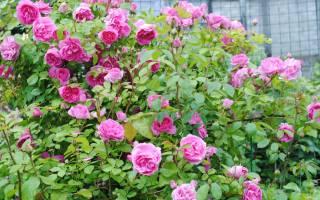 Роза парковая модэн сентенниал описание ихарактеристика