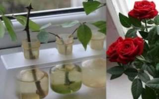 Почва для размножения роз черенками