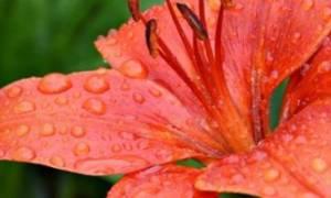 Когда обрезать лилии после цветения