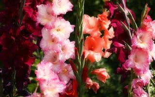 Выращивание гладиолусов основы
