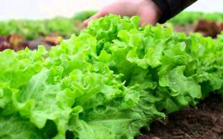 Выращиваем салат в теплице