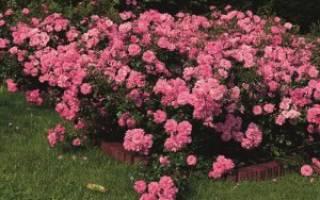 Посадка почвопокровных роз
