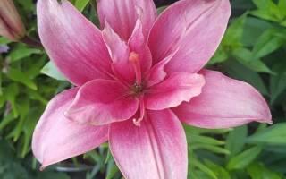 Какого цвета бывают лилии