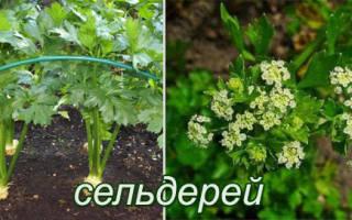 Какое растение является двулетним