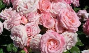 Посадка и уход за чайной розой