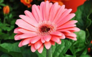 Распространенные цветы похожие на ромашку