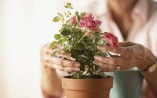 Роза на подоконнике как ухаживать