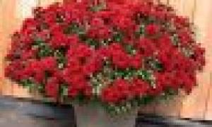Кустовая садовая хризантема