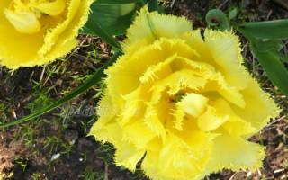 Зачем выкапывать луковицы тюльпанов