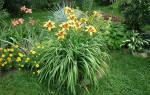 Лилии и лилейники посадка и уход за цветами