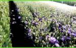 Выращивание лилий в теплице