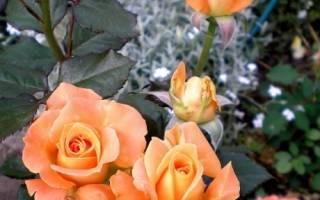 Роза даника уход в домашних условиях