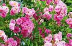Посадка плетистой розы