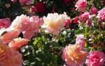 Профилактика болезней роз