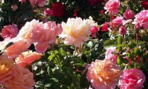 Профилактика роз от заболеваний
