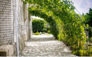 Однолетние лианы для сада фото и названия