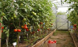 Лучшие семена помидоров для теплиц