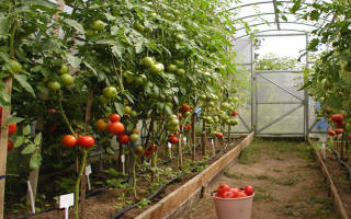 Популярные сорта помидор для теплицы