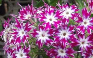 Флокс Друммонда посадка цветка из семян