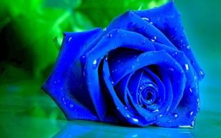 Принцип окрашивания розы