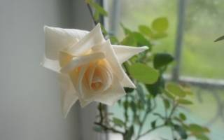 Световой режим для комнатных роз