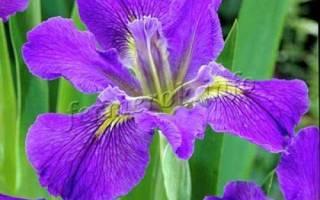 Ирисы виды цветения