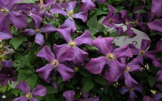 Клематис фиолетовый фото