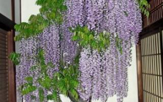 Глициния выращивание в саду и в комнате