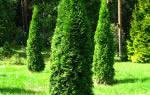 Когда пересаживать хвойные растения