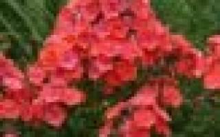Сорта красных флоксов