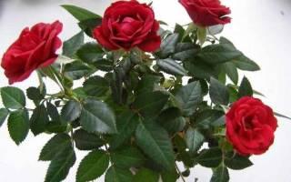 Пошаговая методика посадки роз в картошку