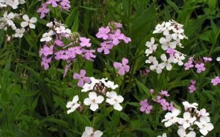 Двухлетние цветы фото и названия