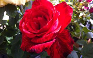 Роза ред интуишн описание и характеристики