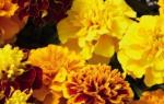Низкие однолетники цветущие все лето