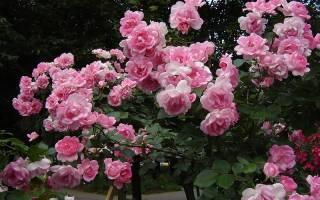 Что такое полиантовая роза