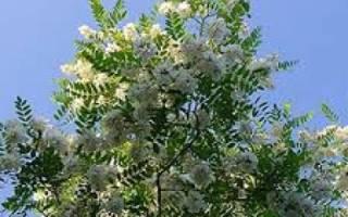 Белая акация описание растения