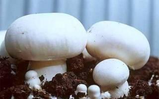Как вырастить шампиньоны в теплице