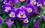 Виола цветы многолетние или однолетние
