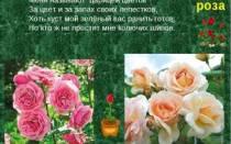 Роза описание для детей