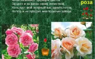 Роза это кустарник или цветок