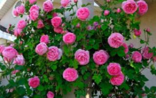 Укрытие на зиму плетистых роз